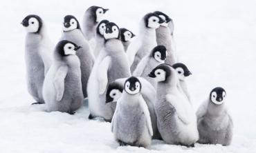 La mossa del pinguino imperatore